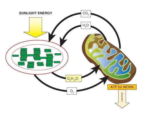 Cell Respiration Clip Art - ClipArt Best