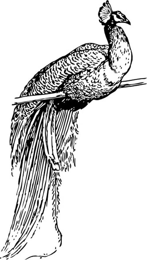 Annabella 67 Art Line Design : Peacock outline clip art free vector birds design for