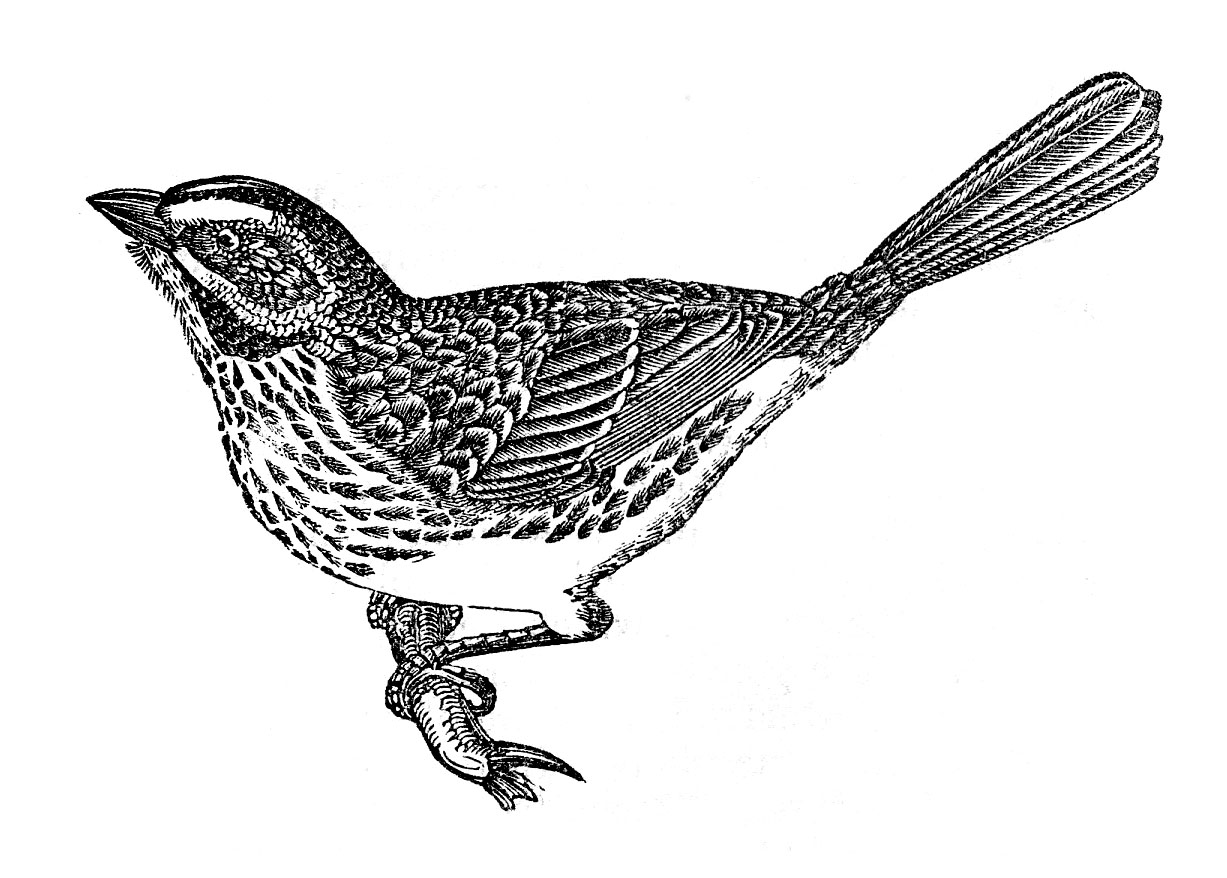 free clipart of vintage birds - photo #37