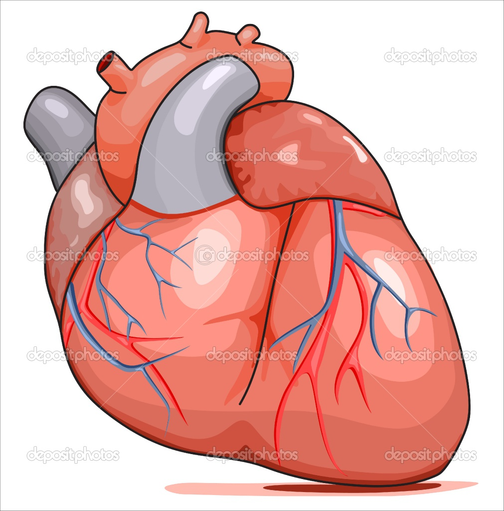 clipart of a human heart - photo #7