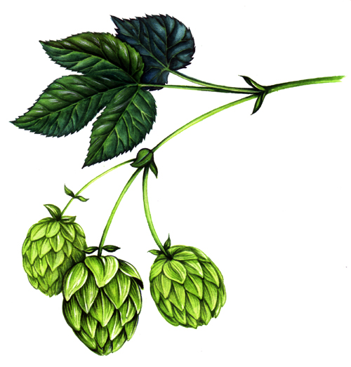 drawings of hops clipart best
