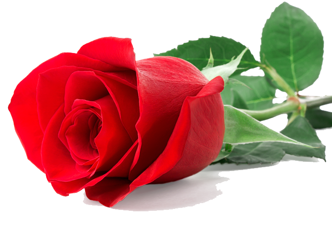 Single Rose Clipart: Single Red Rose Png