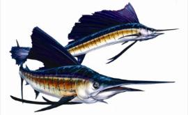 Sailfish Clipart - ClipArt Best