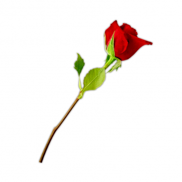 single stem rose clipart best