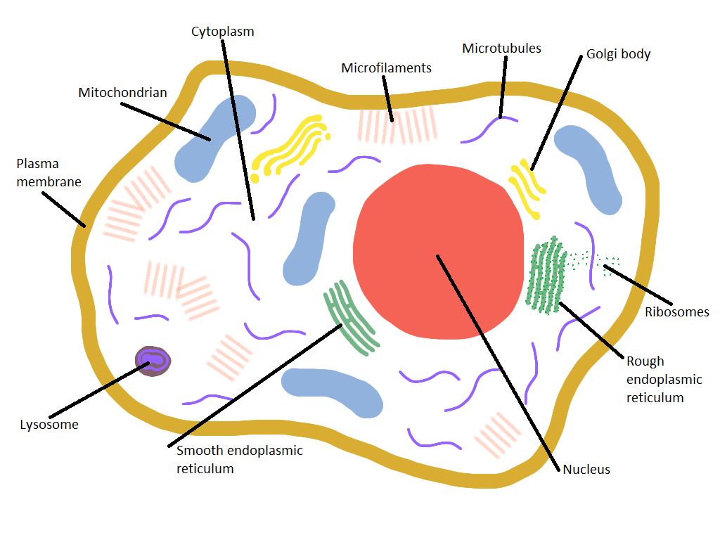 Labeled Animal Cell Diagram For Kids - ClipArt Best