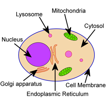 Animal Cell Not Labeled - ClipArt Best