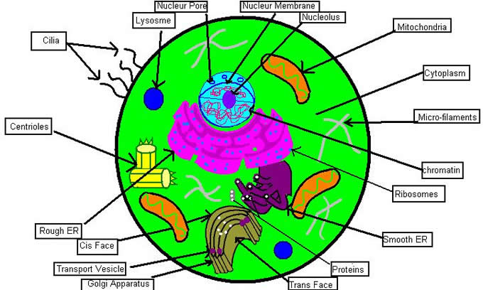 Labeled Animal Cell - ClipArt Best