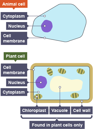 Yeast cell structure gcse