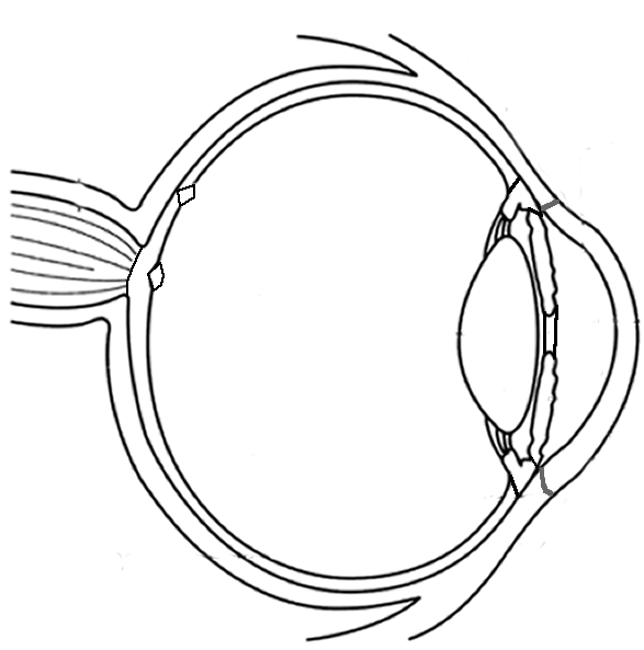 Eyes Anatomy Drawing Anatomy of The Eye