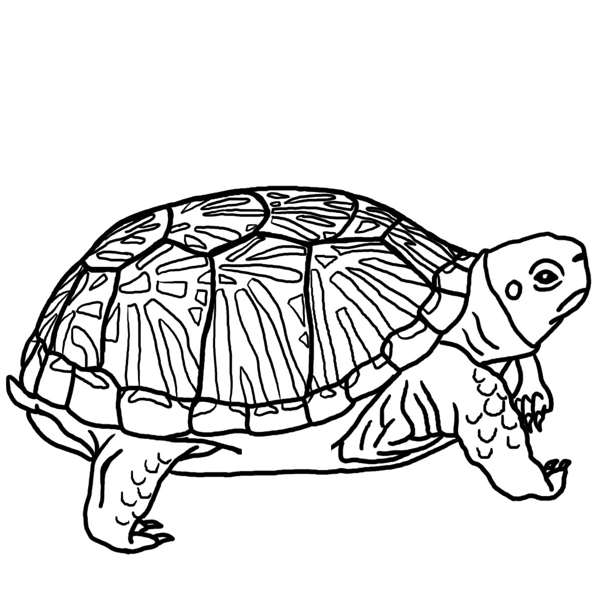 Turtle Shell Pattern Drawing - ClipArt Best