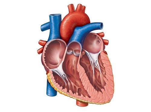 Simple Heart Diagram For Kids - ClipArt Best