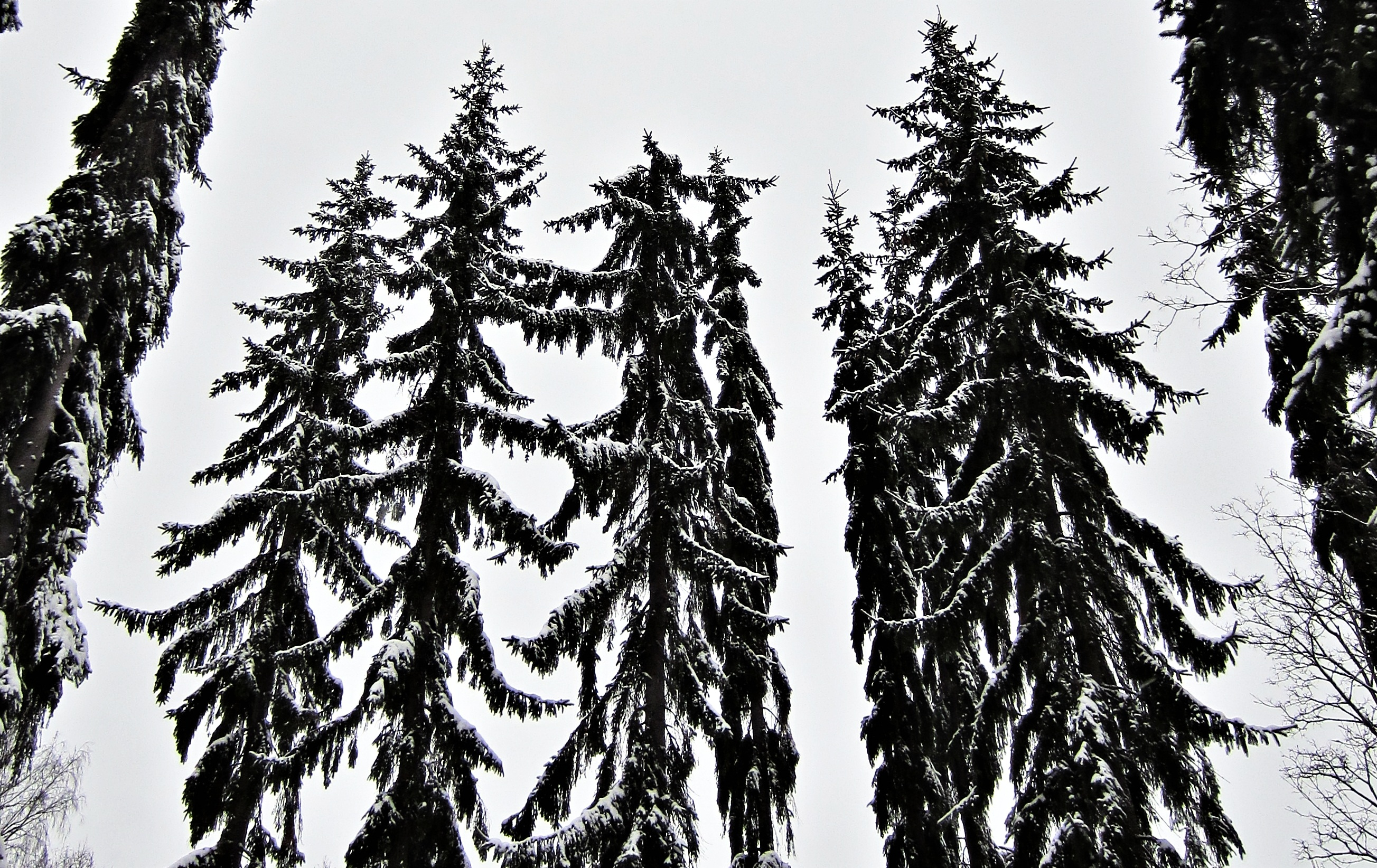Galleries Related: Pine Tree Silhouette , - ClipArt Best ...