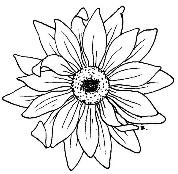 Daisy Flower Line Drawing : Gerbera drawing clipart best