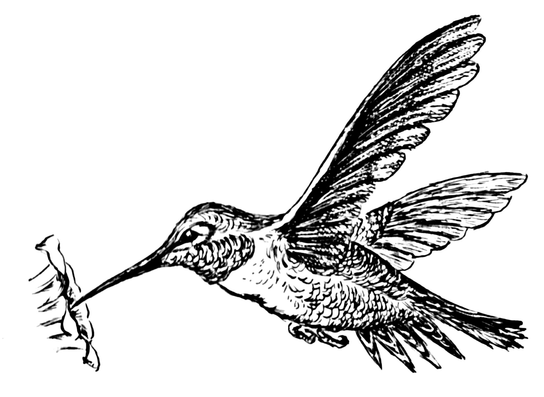 Line Drawing Hummingbird : Hummingbird drawings clipart best