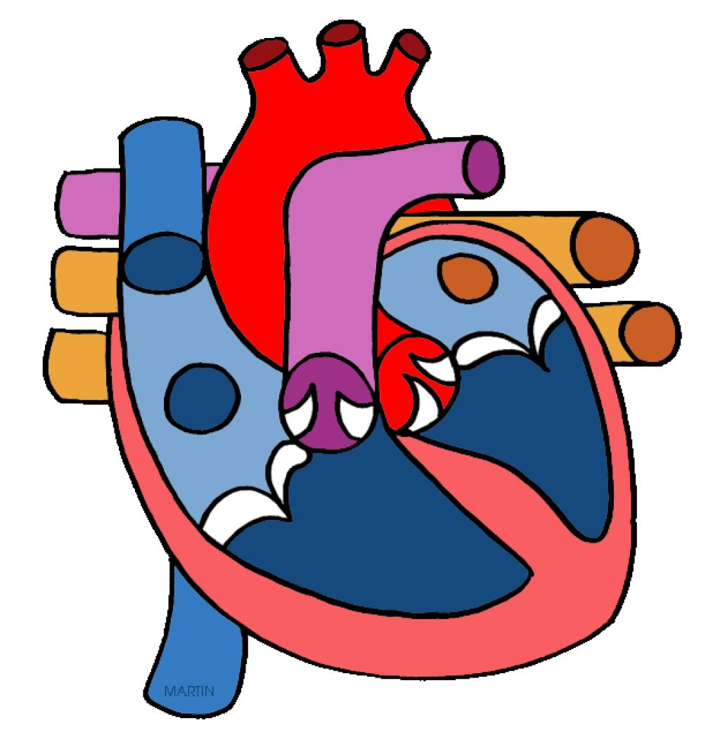 Cardiovascular Disease as well Respiratory System Clip Art as well Human Arterial And Venous System Are Diagramm Circulatory System Wikipedia moreover Circulatory System Blood Vessels And Lymph Fluid likewise Kiwi Actinidia Deliciosa. on heart and circulatory system