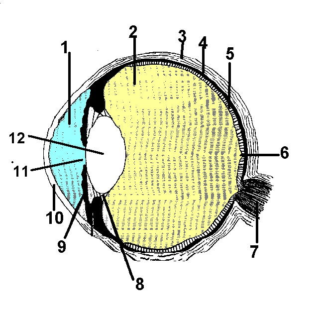 Labeled Picture Of The Eye