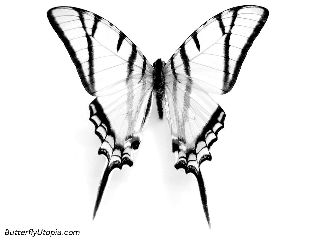 swallowtail butterfly coloring book pages - photo#32