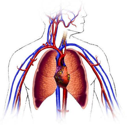 Cardiovascular System Diagram Empty - ClipArt Best