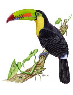 Toucan Bird Drawing Toucan Drawing - ClipA...