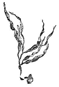 Drawings Of Seaweed - ClipArt Best