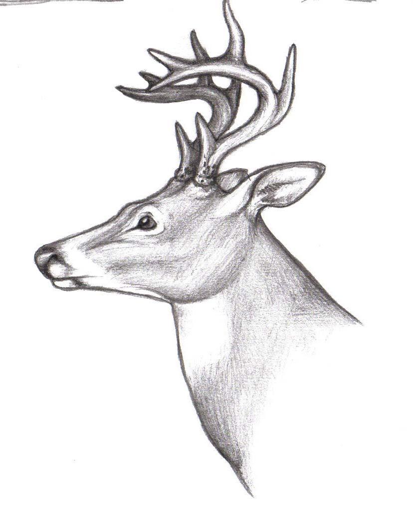 Deer Drawing Drawing · Whitetail Deer