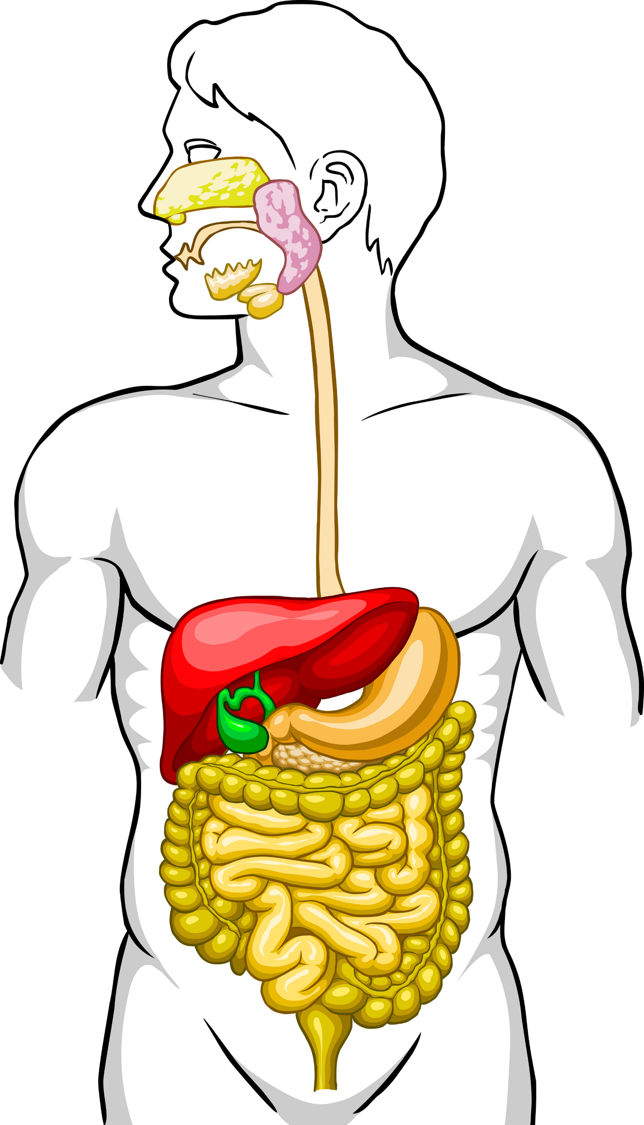 Clip Art Digestive System Clipart clipart of digestive system best tumundografico