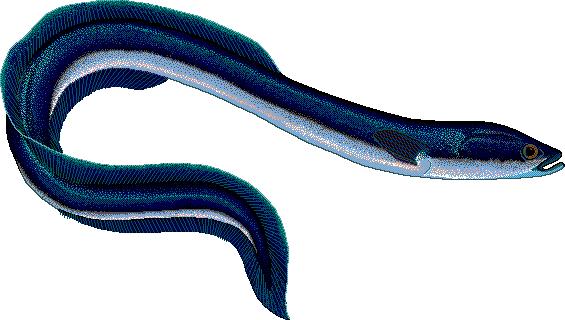 Clip Art Eel Clipart eel clipart best 9777 clipartion com