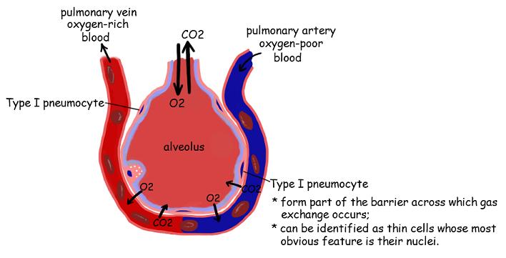 Alveoli Diagram  Quizlet