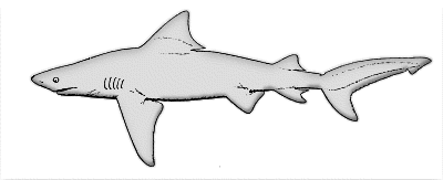 Coloring Pages Sharks Printable Shark Page Funny 17