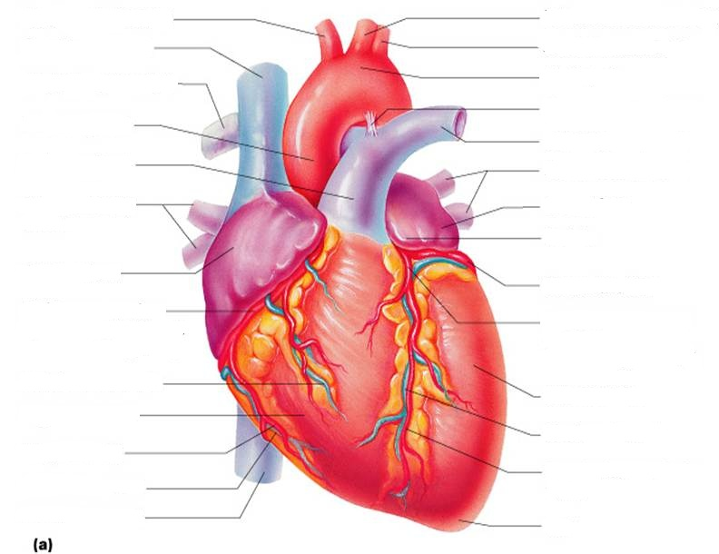 Blank diagram of heart parts clipart best for Exterior of heart diagram