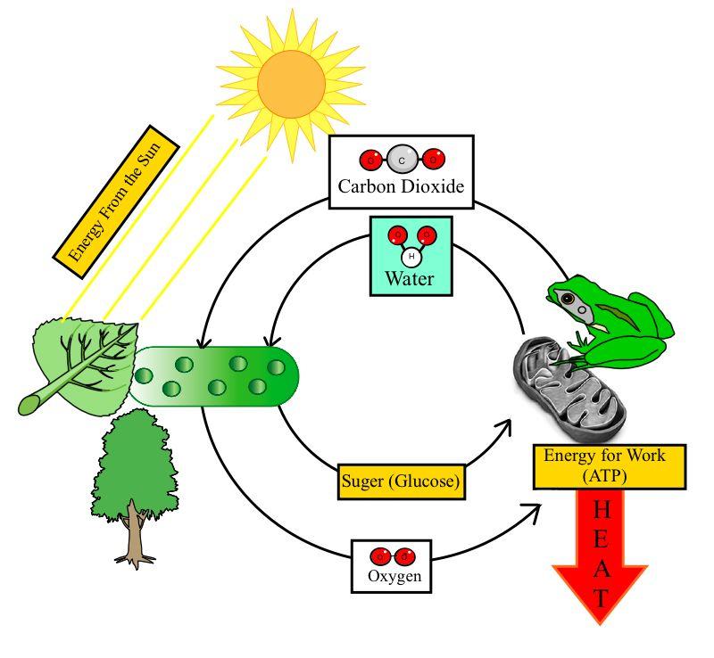 Blank Animal Cell Diagram