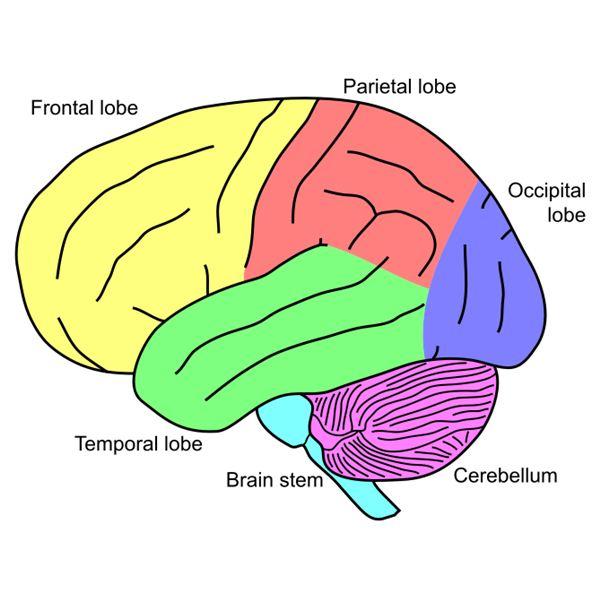 Brain Diagram For Kids - ClipArt Best