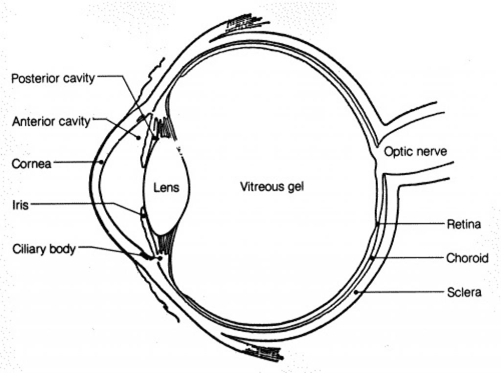 Firefly Life Cycle Diagram For Kids additionally 5 4 together with Label The Parts Of The Eye Game furthermore Quotes About Verbal And Nonverbal  munication furthermore Anatomy Eye. on 7 parts of human eye