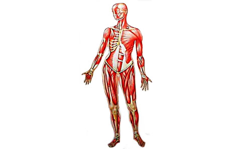 Skeletal Muscle - ClipArt Best