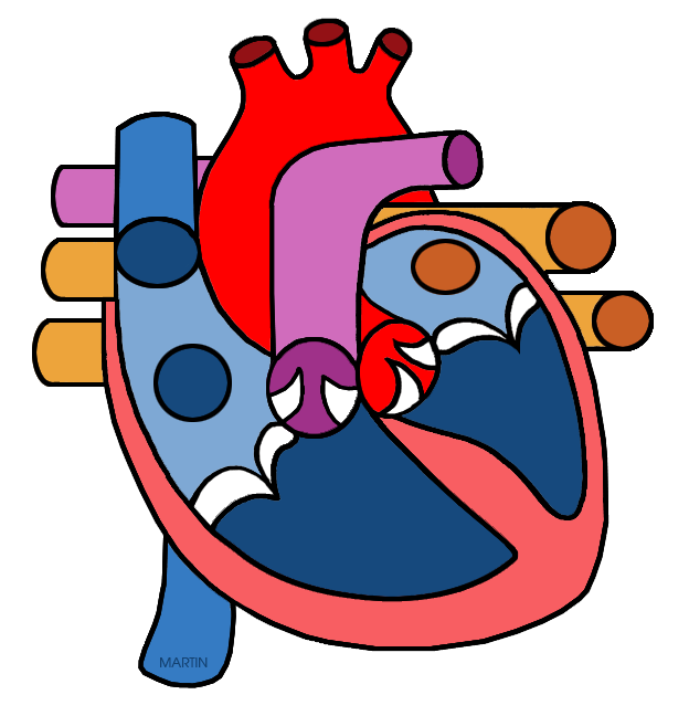 Unlabelled Diagram Of The Human Heart - ClipArt Best