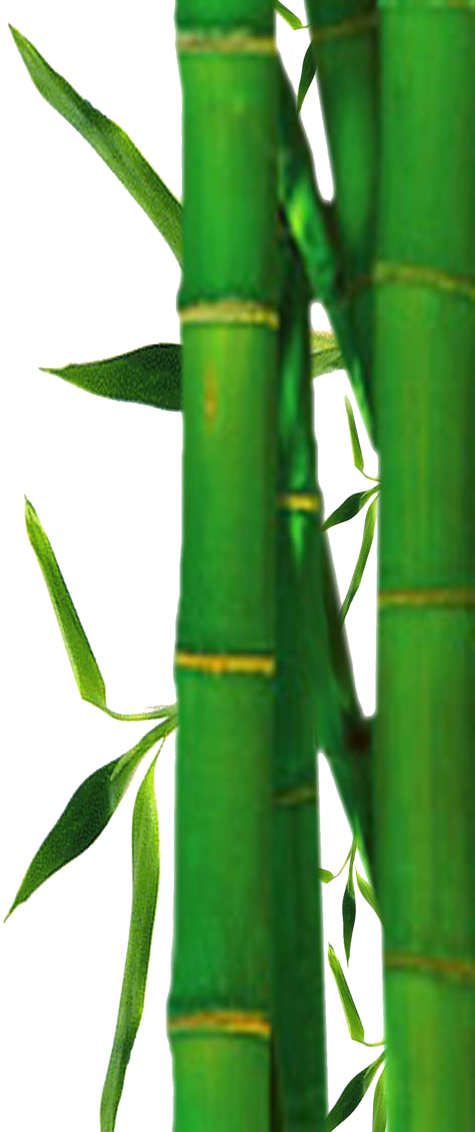 bamboo trees png - photo #24