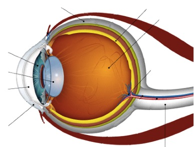 Unlabeled Eye Diagram - ClipArt Best