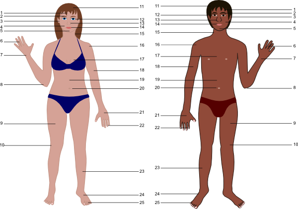 Human Body For Science clip art - vector clip art online, royalty ...