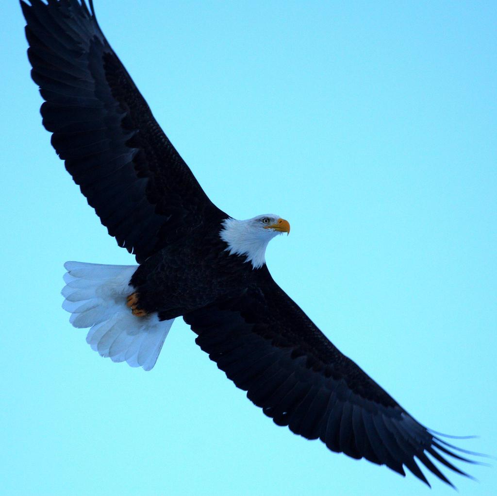 clip art soaring eagle - photo #40