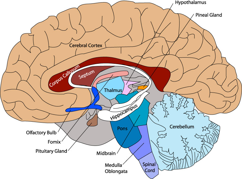 Unlabeled Diagram Of The Brain - ClipArt Best