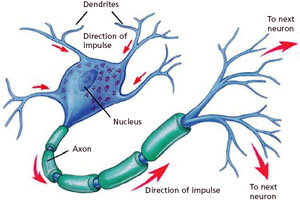 nerve cells diagram clipart best : brain nerve cell diagram - findchart.co