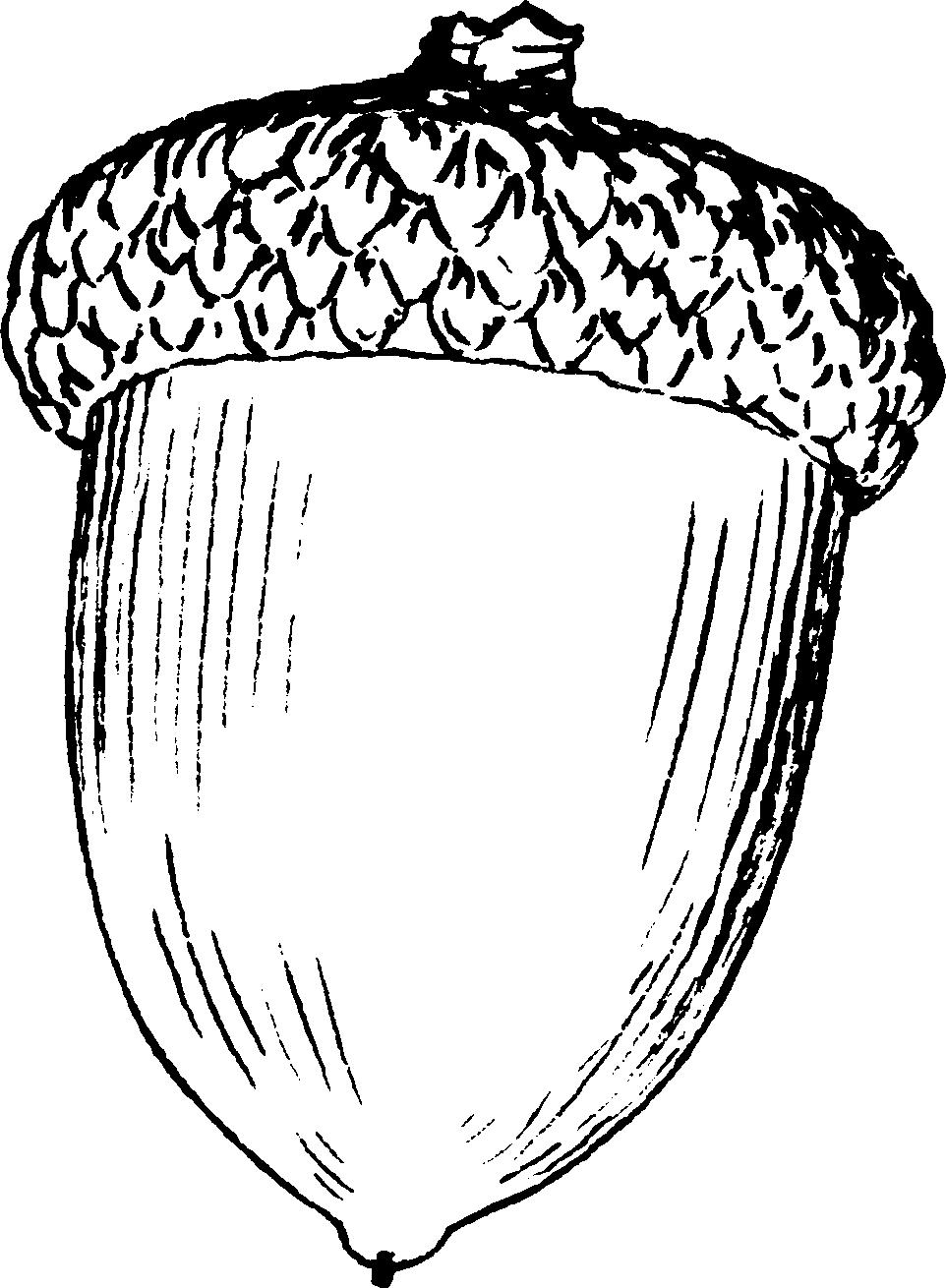 acorn clipart best