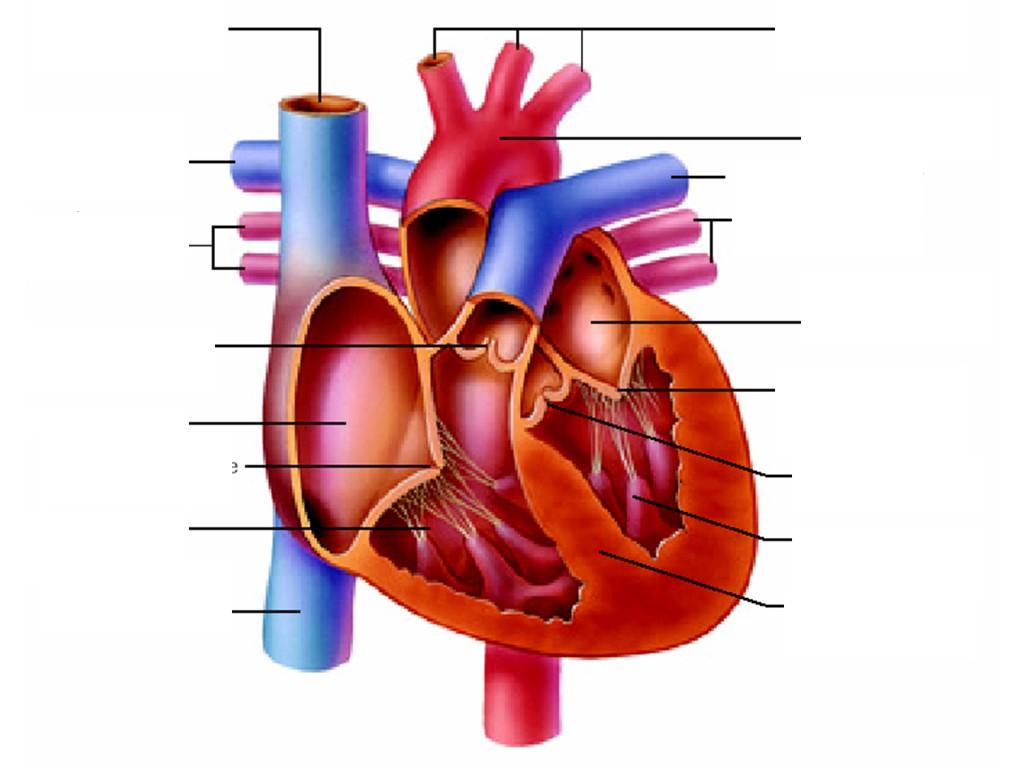 human heart unlabeled clipart best. Black Bedroom Furniture Sets. Home Design Ideas