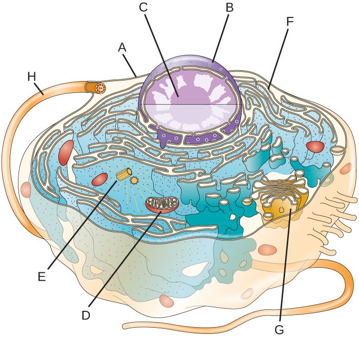 Eukaryotic Cell Without Labels - ClipArt Best