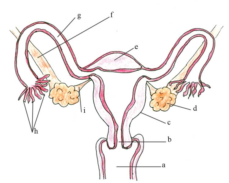 Male Reproductive System Diagram Unlabeled