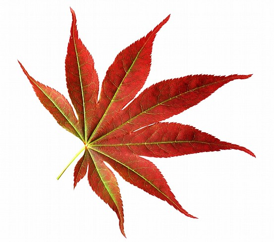 Japanese maple leaf free stock photo clipart best Japanese maple leaf