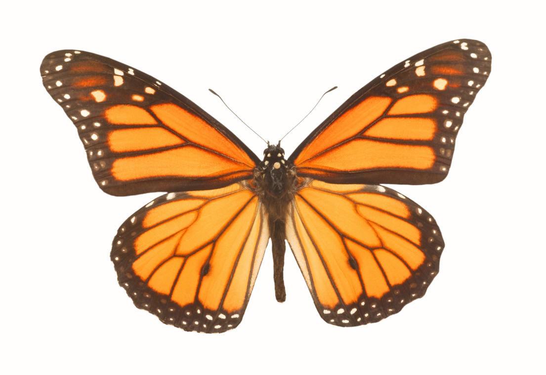 Clip Art Monarch Butterfly Clipart Best