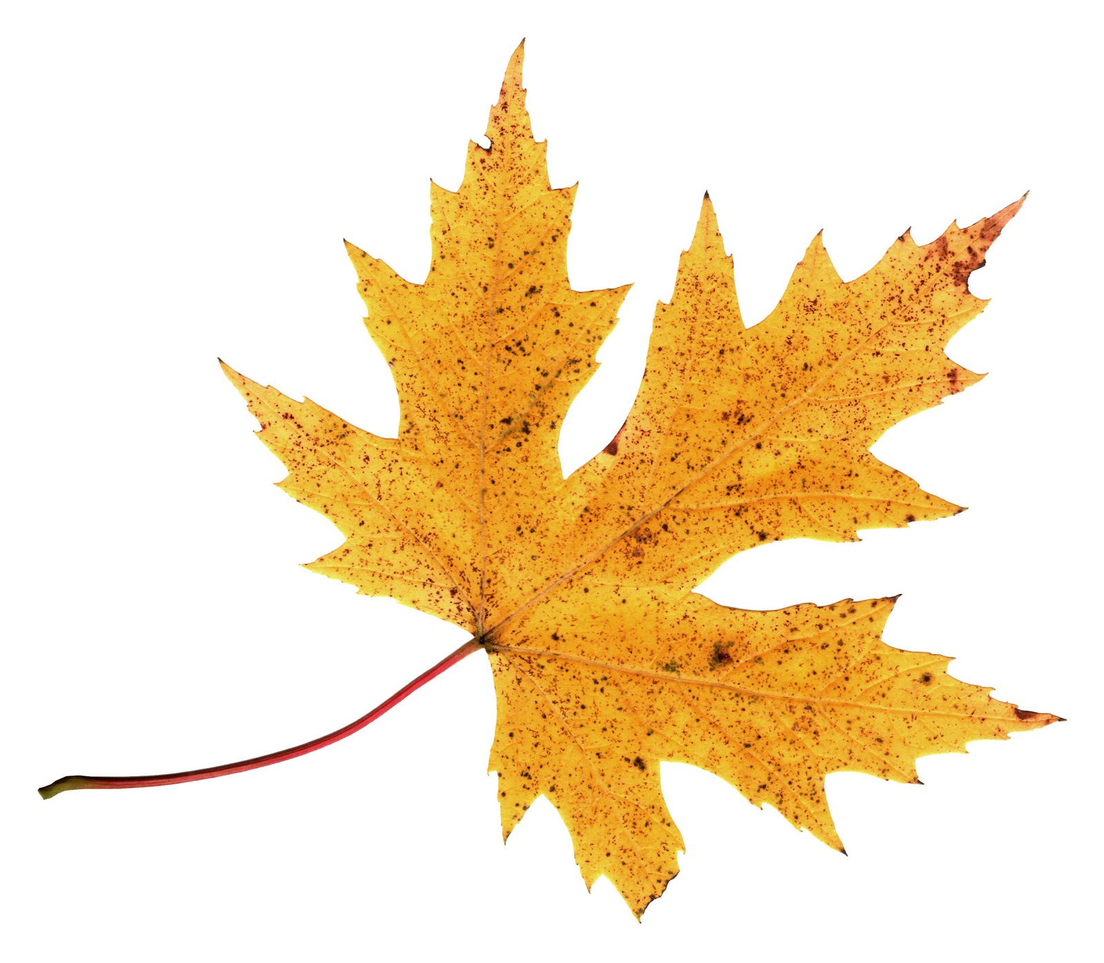 Fall Leaves Graphic - ClipArt Best