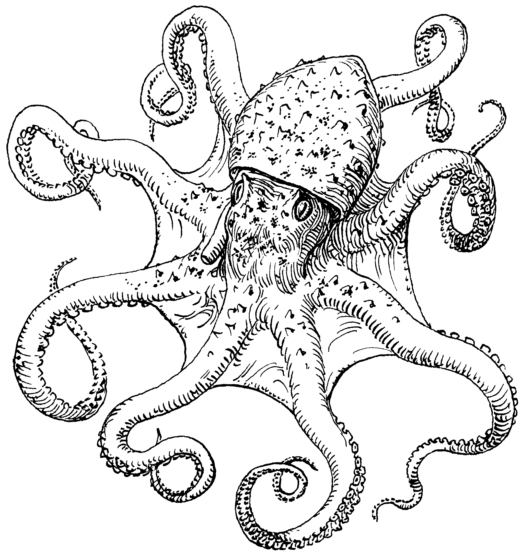 Octopus Drawing Black And White