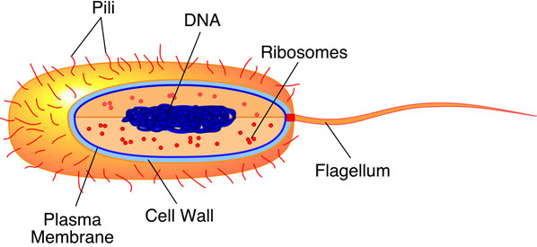 Bacteria Diagram Labeled Clipart Best